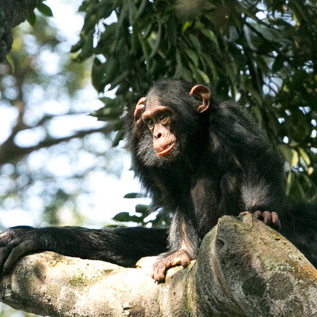 gorilla and chimp tracking