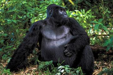 congo Gorilla Tours, gorillas in congo, gorilla trekking in congo, congo gorilla safaris