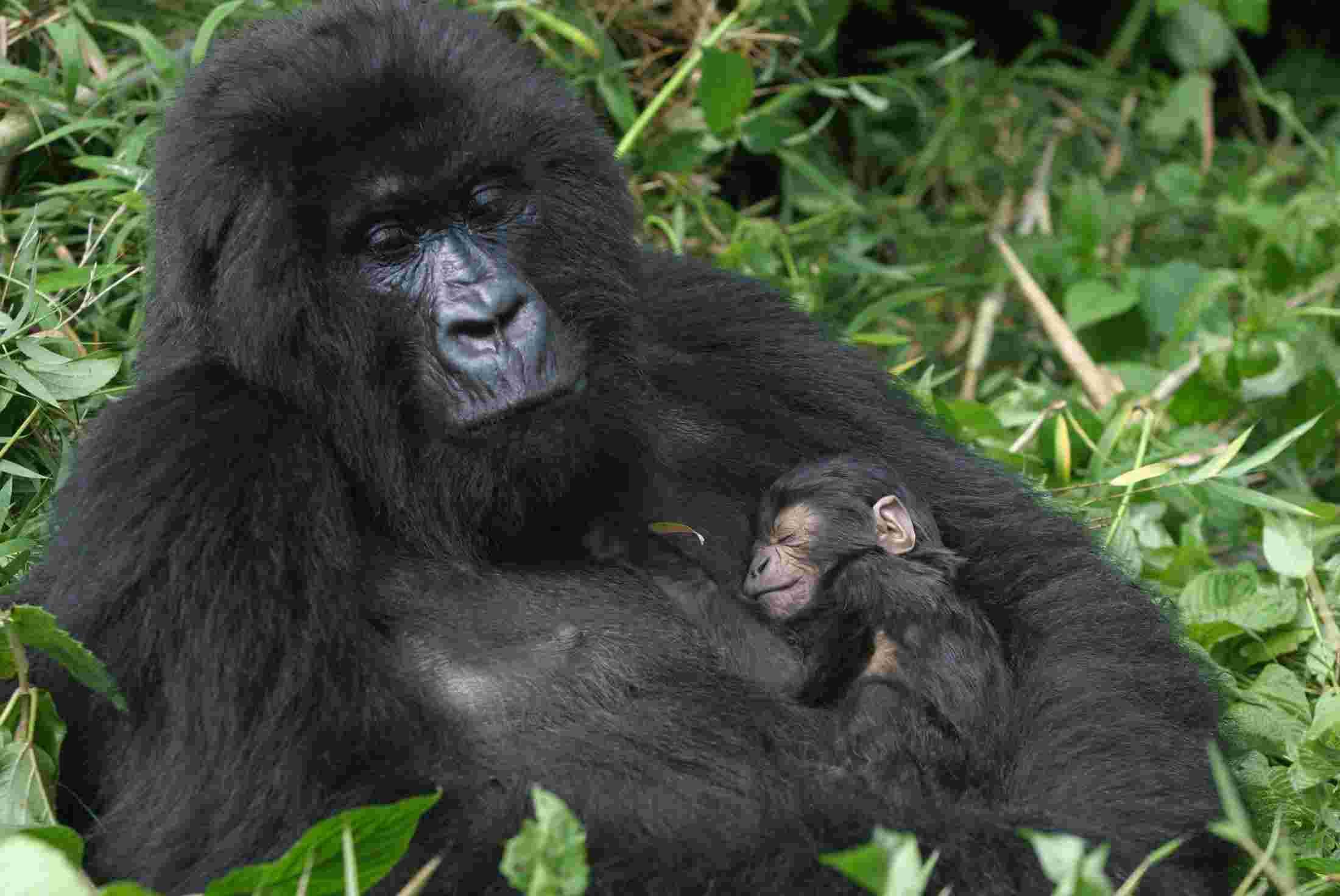 Uganda Gorilla Wildlife Safari, Bwindi Gorilla Trekking, Gorilla tour Uganda