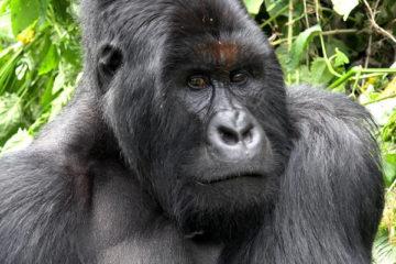 virunga gorilla trekking, gorilla trekking congo, congo gorilla tours, congo gorilla safaris, congo gorilla trekking