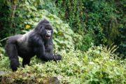 Uganda Gorilla Wildlife Safari, Bwindi Gorilla Trekking, Gorilla tour Uganda, rwanda gorilla trekking, gorilla tours rwanda, rwanda gorilla safaris