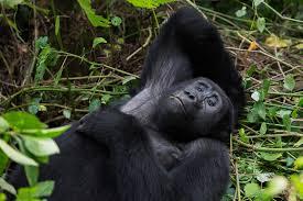 bwindi national park, gorillas in uganda, uganda gorilla trekking, gorilla tours uganda, uganda gorillas, gorilla tours uganda, gorilla safaris uganda