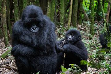 rwanda gorilla trek, gorilla trekking rwanda, gorilla trekking uganda, gorillas in rwanda, uganda gorilla tours, gorilla tours uganda, uganda gorilla trekking, gorillas in uganda, mountain gorillas in uganda, gorilla trekking uganda