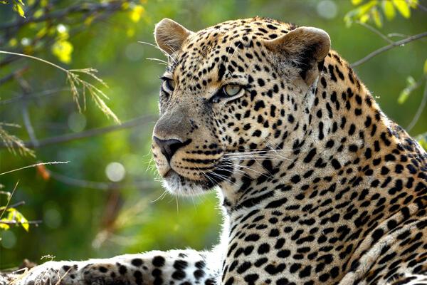 leopards in akagera, akagera national park, wildlife in akagera national park, rwanda wildlife, rwanda wildlife safaris, uganda wildlife tours, wild in akagera, animals in akagera, akagera game drive, game drives in rwanda, rwanda game drive, rwanda game safari, akagera park rwanda, akagera tours, visiting akagera, camping in akagera, akagera game safari, rwanda animals, zebras in akagera, lions in akagera, elephants in akagera, big five in akagera, hippos in akagera, rhinos in akagera, black rhino in akagera, akagera safaris and tours, crocodiles in akagera, giraffes in akagera, elands in akagera, african parks, rwanda african park, parks in africa, national park in rwanda, african national parks, hyenas in akagera