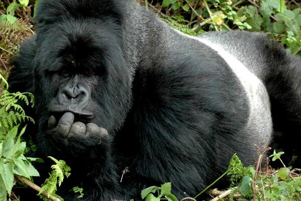 gorilla trekking in uganda, gorillas in uganda, uganda mountain gorillas, uganda gorilla tours, uganda gorillas trek, gorilla trek africa uganda, gorillas in bwindi, gorillas in mgahinga, mgahinga gorilla trekking, bwindi gorilla trekking, uganda gorilla trekking, rwanda uganda gorillas, gorilla tours uganda, uganda gorillas, rwanda gorilla trekking, gorilla trekking rwanda, gorilla tours rwanda, rwanda gorilla tracking, uganda gorilla tracking