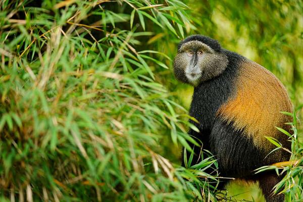 volcanoes national park, rwanda golden monkeys, golden monkey trekking, gorilla and golden monkey trekking, karisoke research center, karisoke research. dian fossey researcher, dian fossey tomb, volcanoes national park, virunga mountains, rwanda volcanoes park