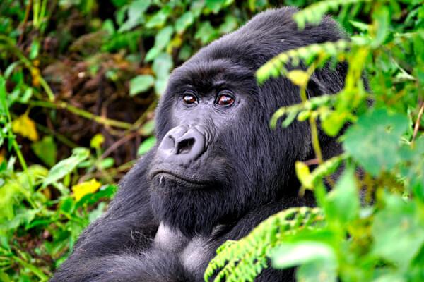 gorilla trekking rwanda, gorilla safaris rwanda, gorilla tours rwanda, gorillas in rwanda, rwanda gorilla tours, mountain gorillas rwanda, rwanda gorilla trek