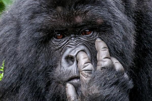 gorilla trekking in rwanda, rwanda gorilla tours, uganda gorilla safaris, rwanda gorilla trekking safaris, rwanda gorillas, uganda gorilla tours, gorilla trekking in uganda, gorilla tours uganda