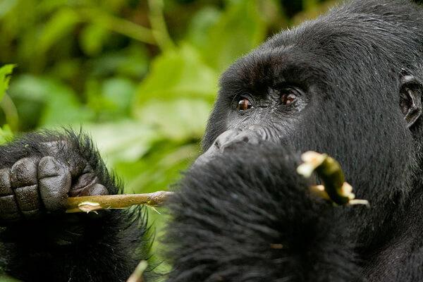 rwanda gorilla trekking, rwanda gorillas, gorilla in rwanda, mountain gorillas in rwanda, rwanda volcano gorillas, gorilla tours rwanda, gorilla safaris rwanda, rwanda trekking safaris, gorilla trekking safaris